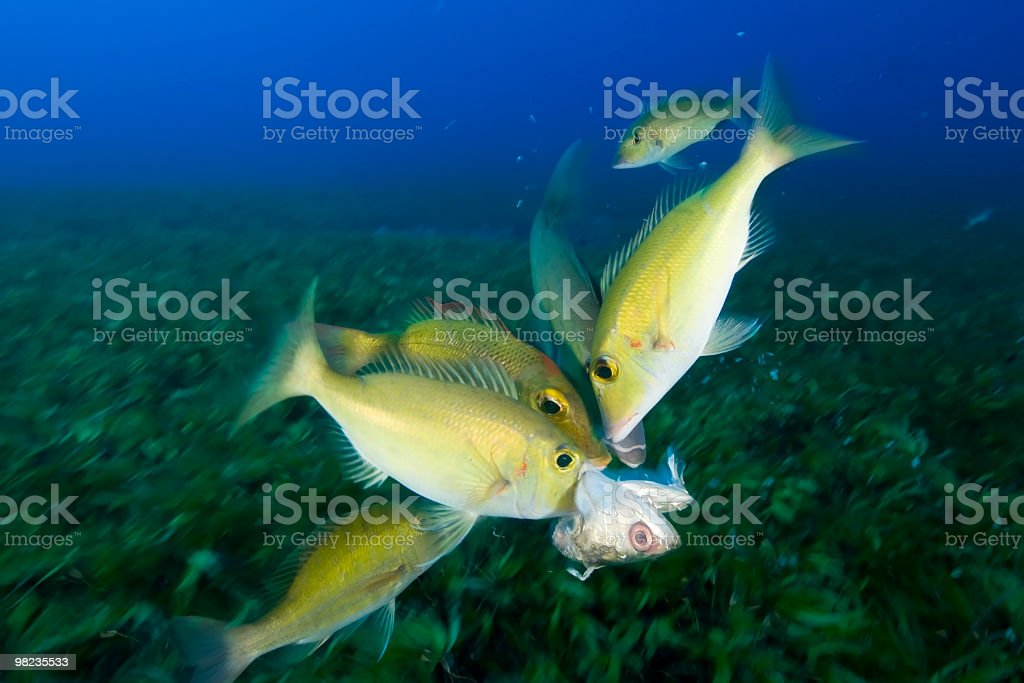 emperor fish eating a mackrel royalty-free stock photo