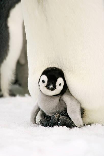 Emperor Penguin Chick on Feet stock photo