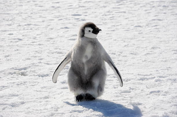 Emperor Penguin Chick An Emperor Penguin chick beginning to moult, Cape Washington, Antarctica emperor penguin stock pictures, royalty-free photos & images