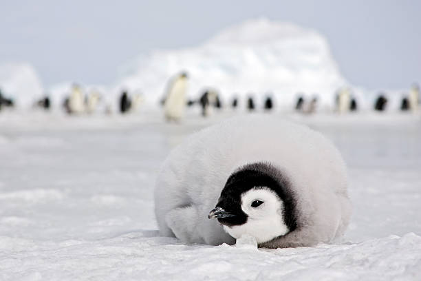 Emperor Penguin Chick Emperor penguin chick resting on the ice. Antarctica. emperor penguin stock pictures, royalty-free photos & images