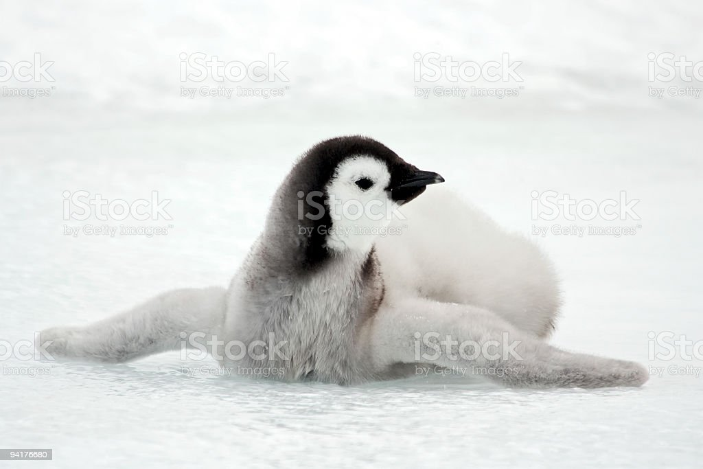 Emperor Penguin Chick Sprawled on Ice stock photo