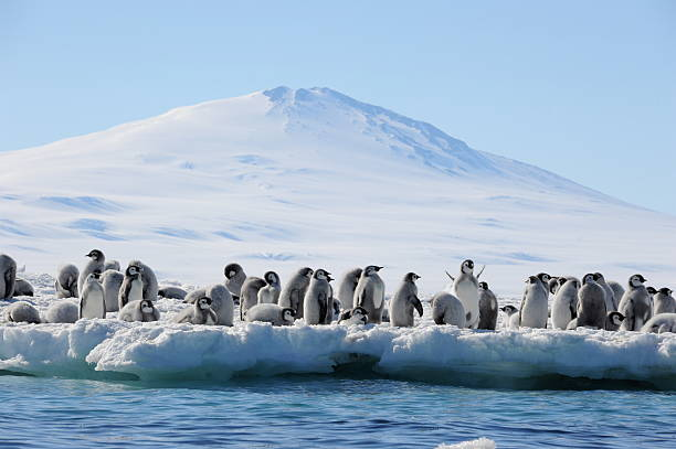 Emperor Penguin chicks and mountain A group of Emperor penguin chicks on sea ice, Antarctica emperor penguin stock pictures, royalty-free photos & images
