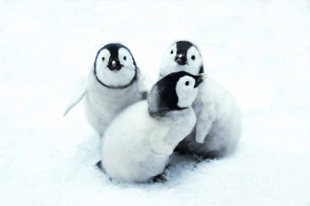 emperor penguin chicks portrait of three cute emperor penguin chicks sitting in snow emperor penguin stock pictures, royalty-free photos & images