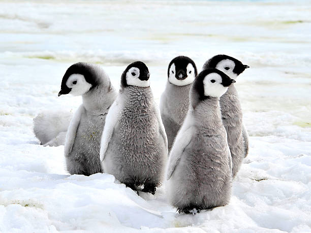Emperor Penguin Chicks stock photo