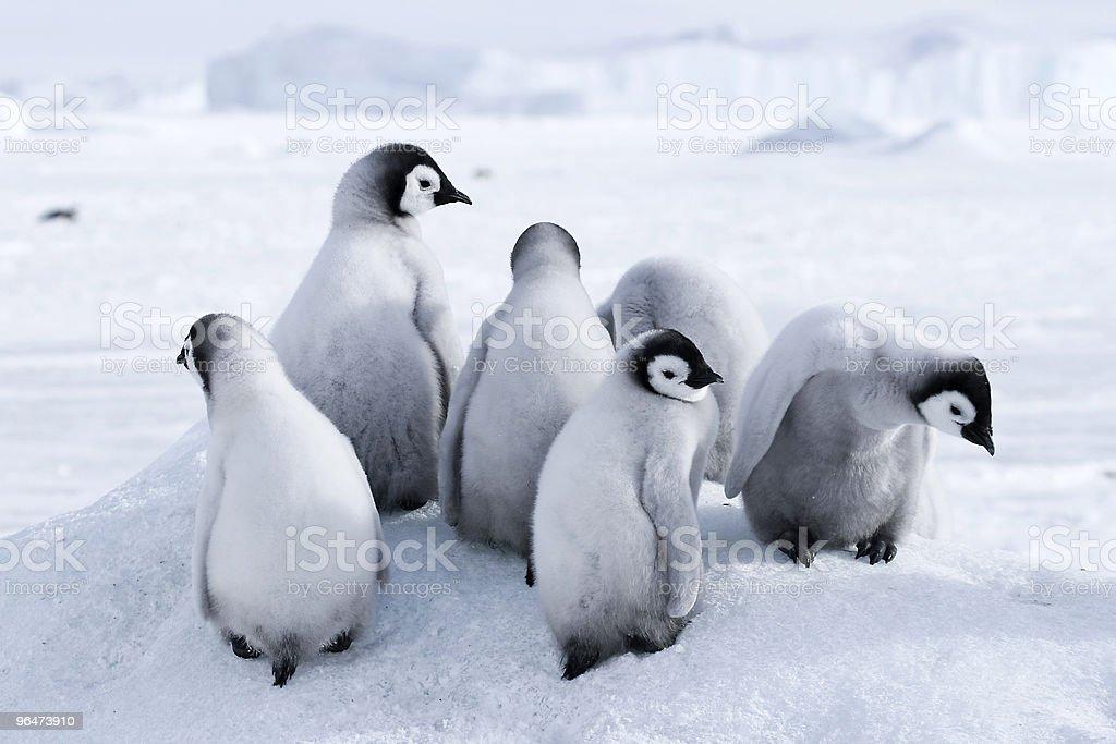 Emperor penguin chicks royalty-free stock photo