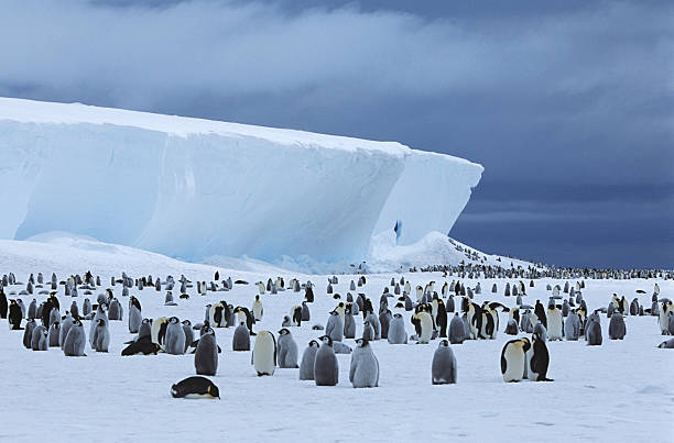 Emperor Penguin (Aptenodytes forsteri) colony Emperor Penguin (Aptenodytes forsteri) colony and iceberg emperor penguin stock pictures, royalty-free photos & images