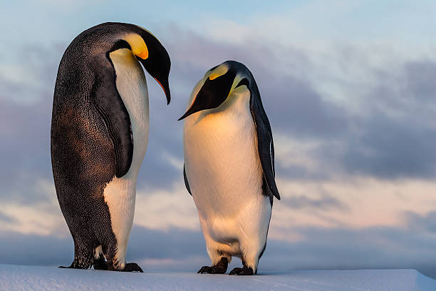 Emperor penguin curiously looking at his friend's belly This penguin couple was photographed on a remote ice floe in the Southern Ocean during a winter sunset. emperor penguin stock pictures, royalty-free photos & images