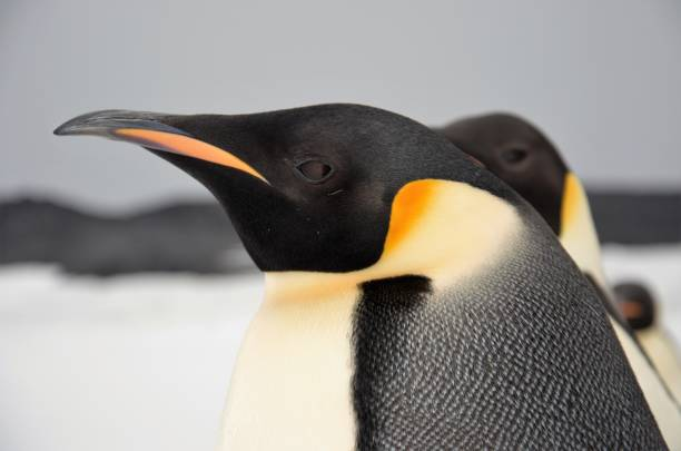 Emperor Penguin Headshot A close up of an Emperor Penguin taken near Cape Royds on Ross Island in Antarctica emperor penguin stock pictures, royalty-free photos & images