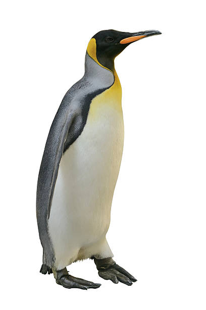 Emperor Penguin Emperor Penguin isolated on white with clipping path. emperor penguin stock pictures, royalty-free photos & images