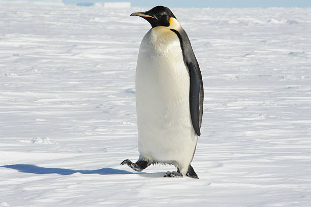 Emperor Penguin An Emperor Penguin walking away from the sea ice emperor penguin stock pictures, royalty-free photos & images
