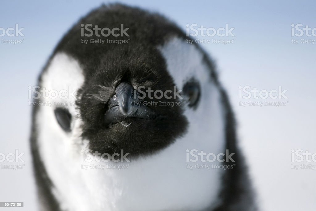 Emperor penguin (Aptenodytes forsteri) royalty-free stock photo