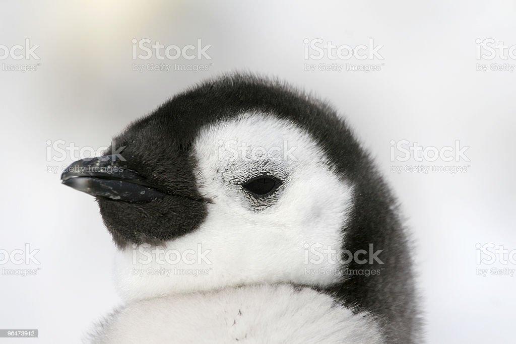 Emperor penguin (Aptenodytes forsteri) royalty-free stock photo