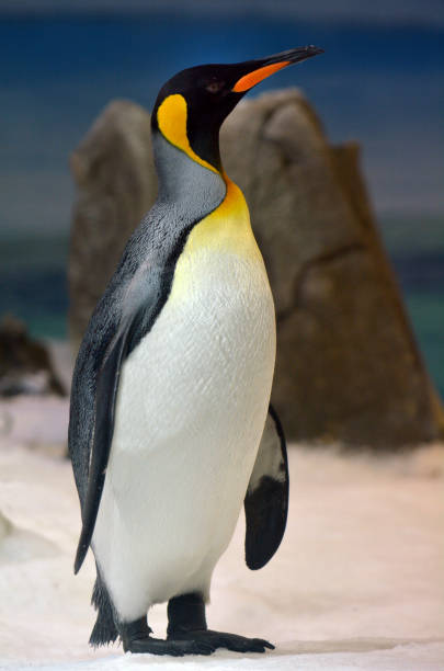 Emperor penguin standing Emperor penguin standing. Full body. Vertical. Copy space emperor penguin stock pictures, royalty-free photos & images