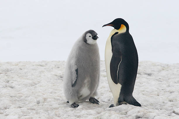 Emperor Penguin With Chick An adult Emperor Penguin with its chick at Cape Crozier, Antarctica. Emperor Penguins spend their entire life without touching land, nesting on frozen seas. This image was not altered from the original photograph. Clean, crisp, sharp image. emperor penguin stock pictures, royalty-free photos & images