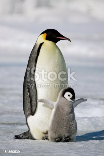 An Emperor Penguin chick flaps its wings after being fed by its parent. Antarctica.
