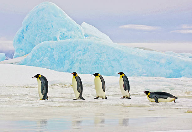 Emperor Penguins and Blue Iceberg Five Emperor Penguins traveling on the ice in front of a blue iceberg, Antarctica. emperor penguin stock pictures, royalty-free photos & images