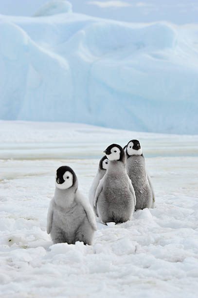 Emperor Penguins  chicks stock photo