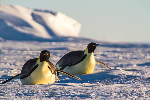 Emperor Penguins in Antarctica Emperor penguins belly slide on the frozen antarctica ice sheet emperor penguin stock pictures, royalty-free photos & images