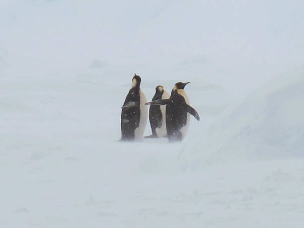 Emperor Penguins in snow A group of Emperor Penguins in snow emperor penguin stock pictures, royalty-free photos & images
