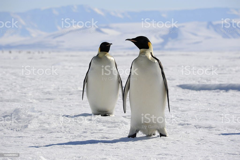 Emperor Penguins on sea ice A pair of Emperor Penguins on sea ice, Cape Washington, Antarctica Animals In The Wild Stock Photo