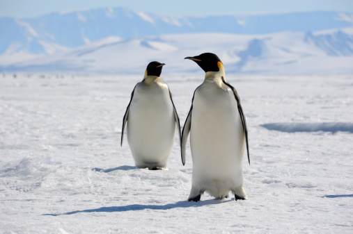 Emperor Penguins On Sea Ice Stock Photo - Download Image Now