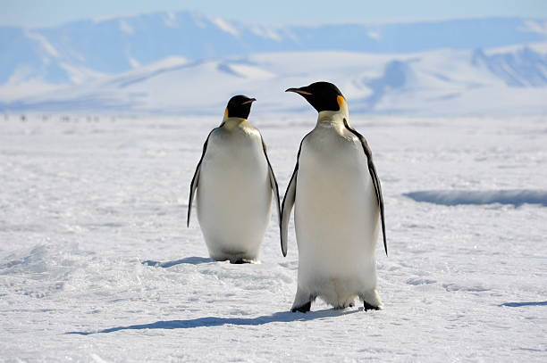 Emperor Penguins on sea ice A pair of Emperor Penguins on sea ice, Cape Washington, Antarctica emperor penguin stock pictures, royalty-free photos & images