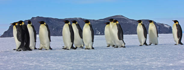 Emperor Penguins on the march - Antarctica Snapshots of the 2012/2013 summer on the frozen continent emperor penguin stock pictures, royalty-free photos & images