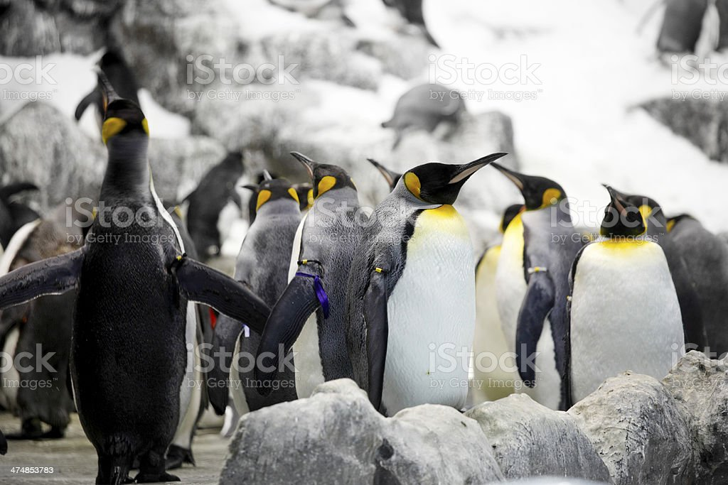 Emperor penguins royalty-free stock photo