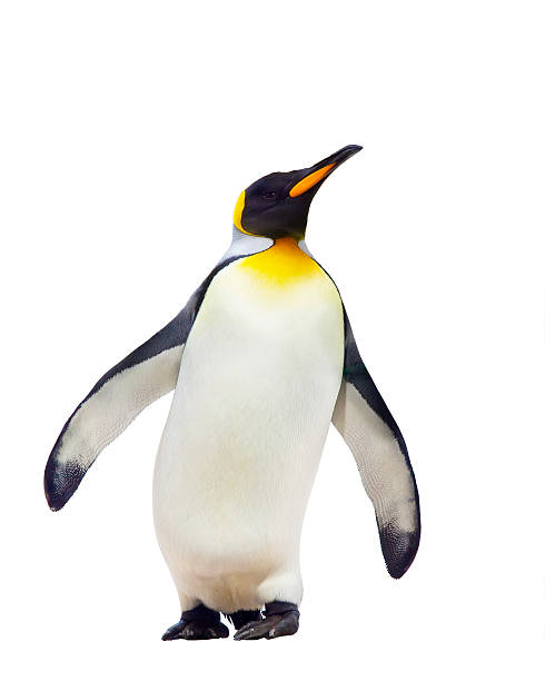 Empereurs penguins - Photo