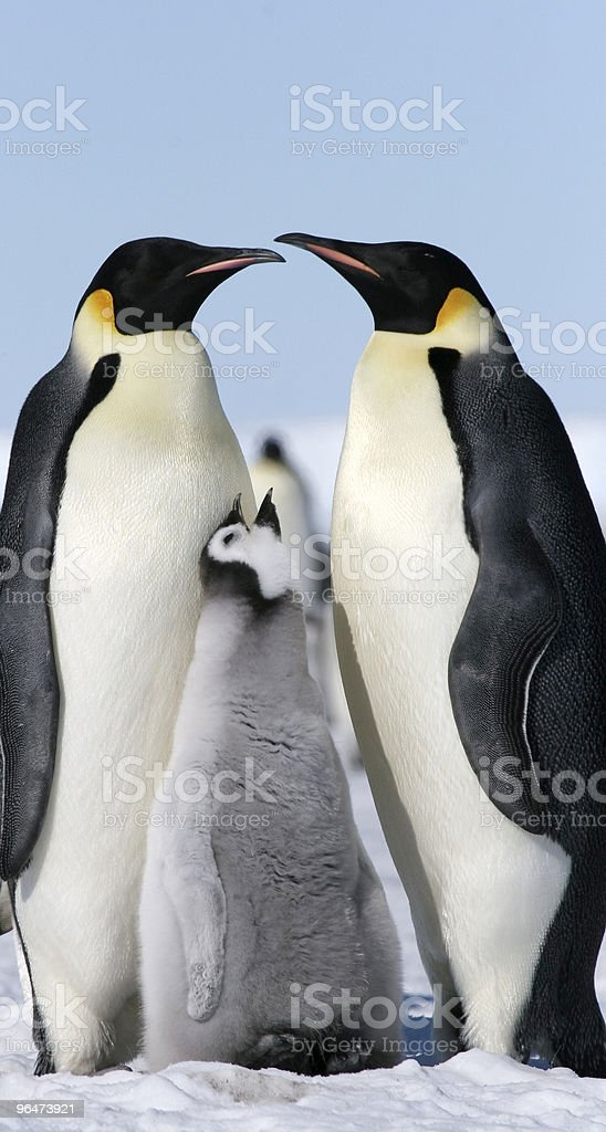 Emperor penguins (Aptenodytes forsteri) royalty-free stock photo