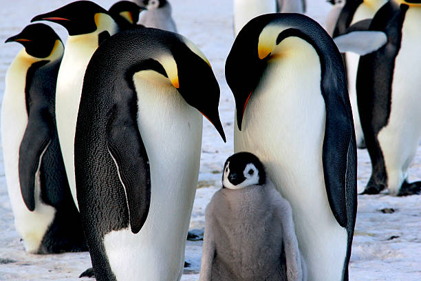 Emperor penguins with chick Emperor penguins with chick emperor penguin stock pictures, royalty-free photos & images