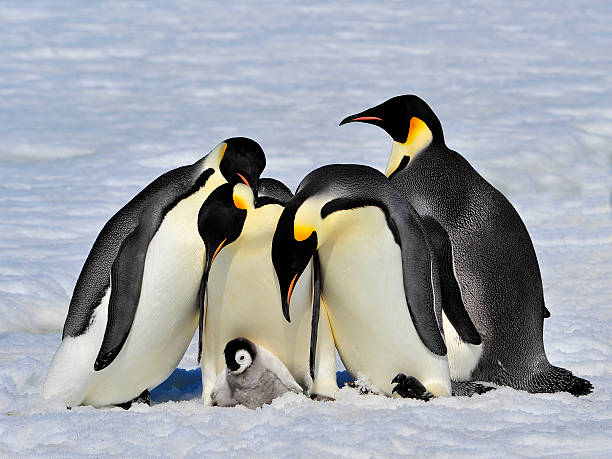 Emperor Penguins with chick Emperor Penguins with chick fight for adopting  animal family stock pictures, royalty-free photos & images