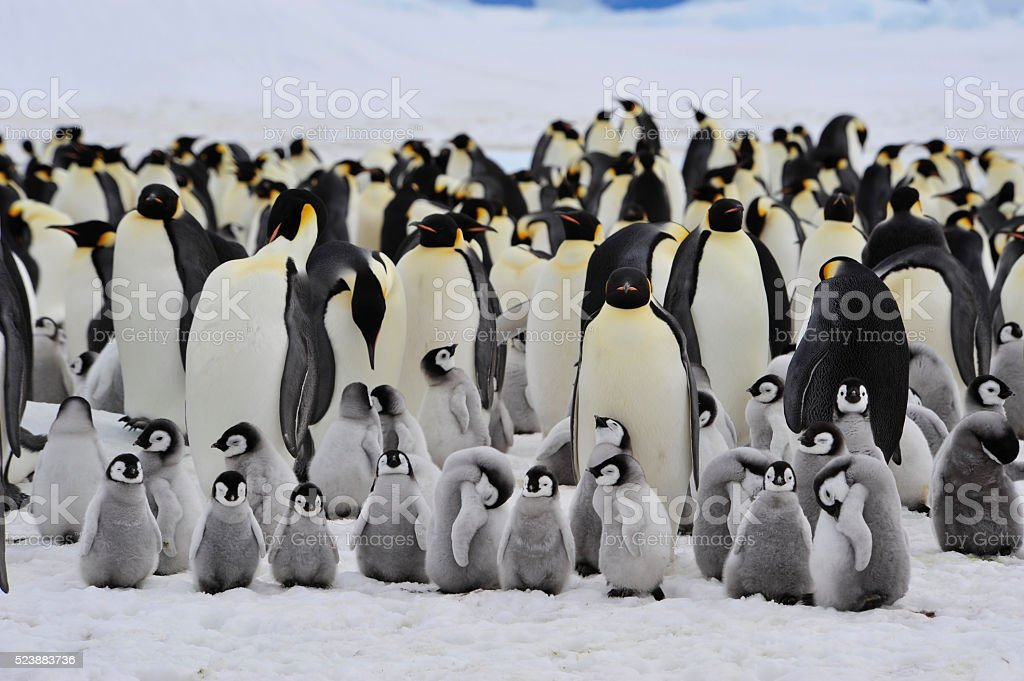 Emperor Penguins with chick Emperor Penguins with chick Snow Hill  in Antarctica Advice Stock Photo