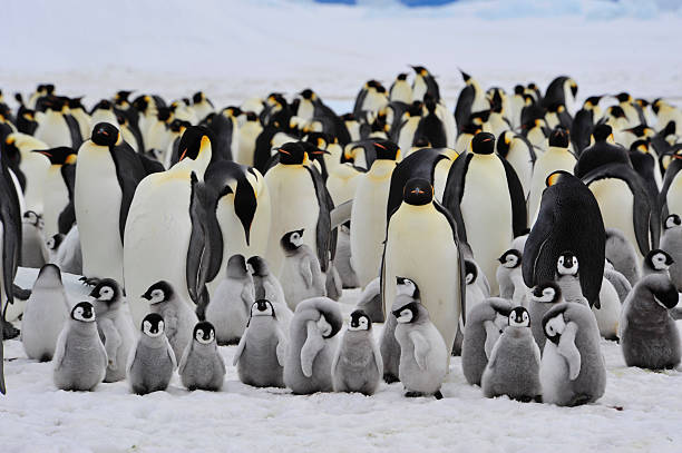 Emperor Penguins with chick Emperor Penguins with chick Snow Hill  in Antarctica animal family stock pictures, royalty-free photos & images