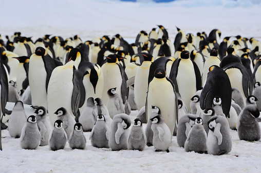 Emperor Penguins With Chick Stock Photo - Download Image Now