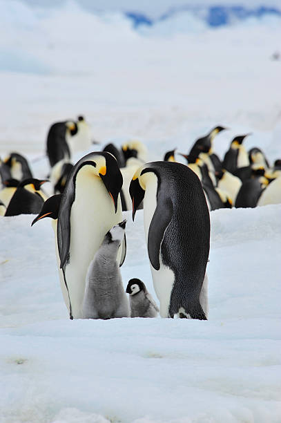 Emperor Penguins with chick Emperor Penguins with chick Snow Hill  in Antarctica emperor penguin stock pictures, royalty-free photos & images