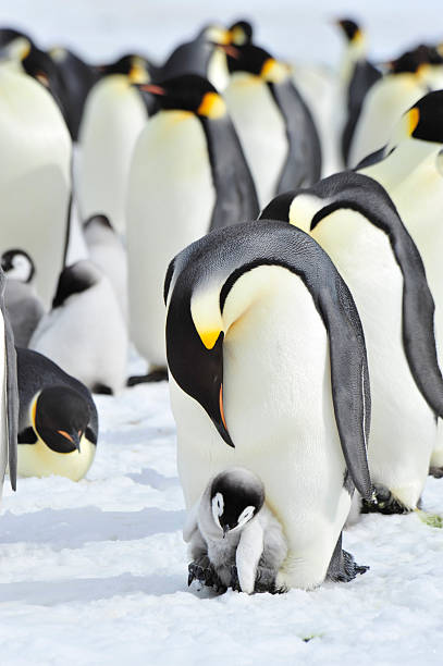 Emperor Penguins with chick stock photo