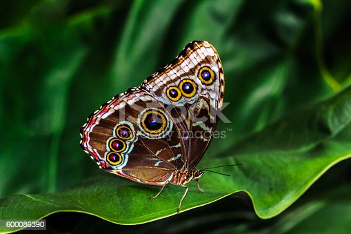Tropical morpho bleu butterfly in green leafs. Macro photography of nature.