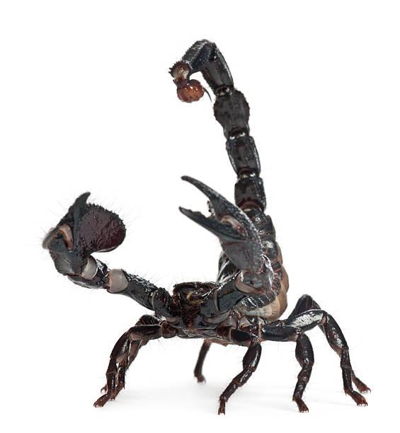 emperor scorpion, pandinus imperial county, 1 jahr alt - skorpion stock-fotos und bilder