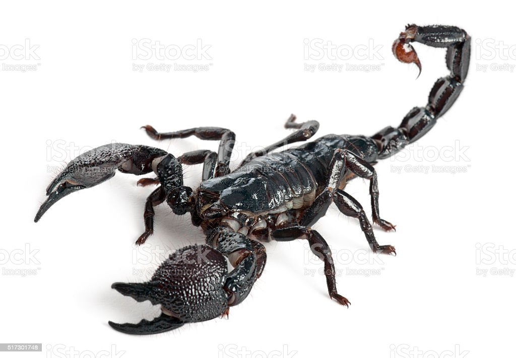 Emperor Scorpion, Pandinus imperator, 1 year old, stock photo