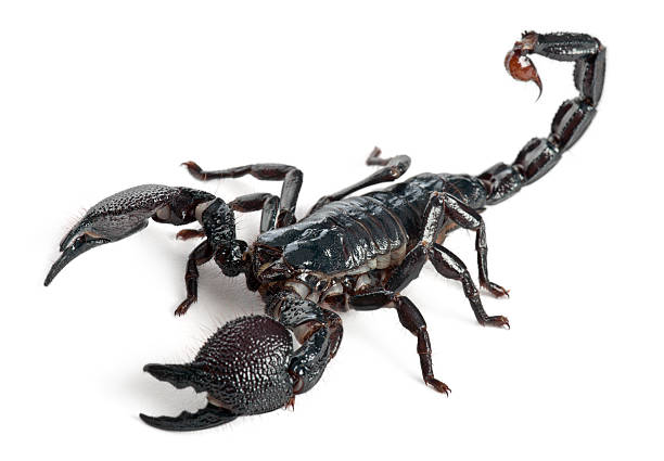 emperor scorpion, pandinus imperator, 1 year old, - scorpion stock photos and pictures
