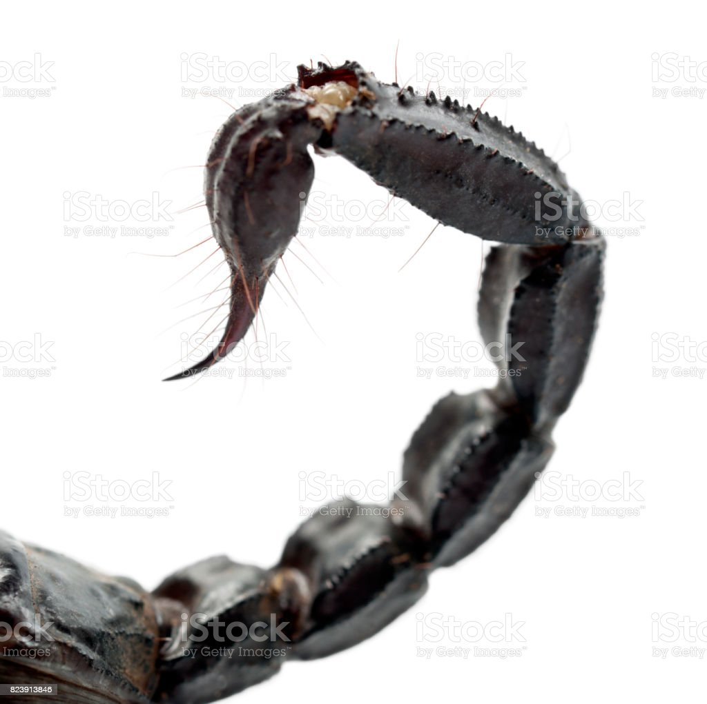 Emperor Scorpion, Pandinus imperator, close up of tail against white background stock photo