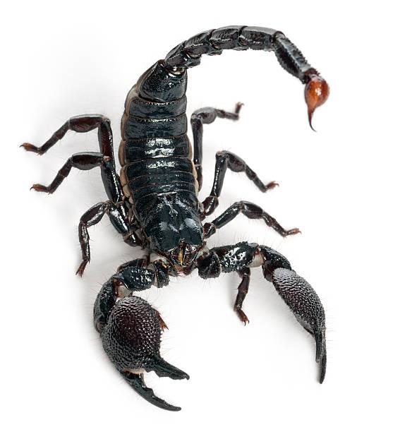 emperor scorpion, pandinus imperator, one year old, white background. - scorpion stock photos and pictures