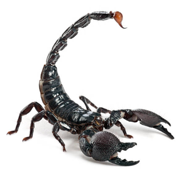 emperor scorpion - pandinus imperator (1 year old) - scorpion stock photos and pictures