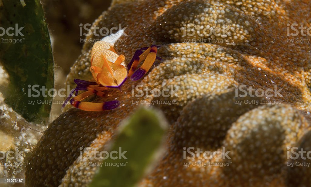 emperor shrimp on a sea cucumber stock photo