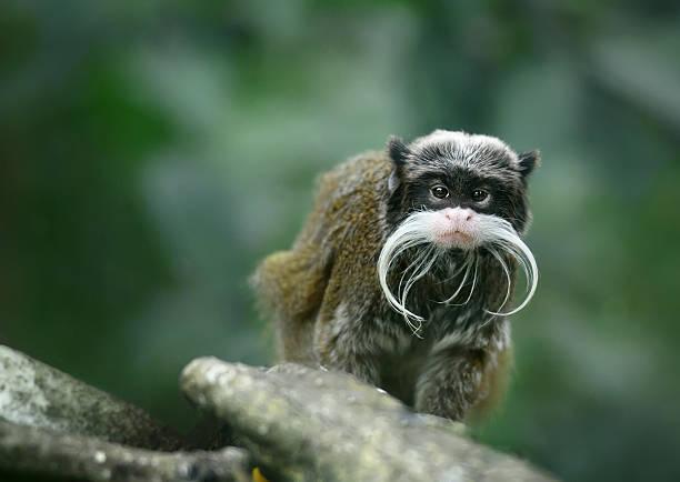 tamarin empereur grand singe drôle avec moustache - tamarin photos et images de collection