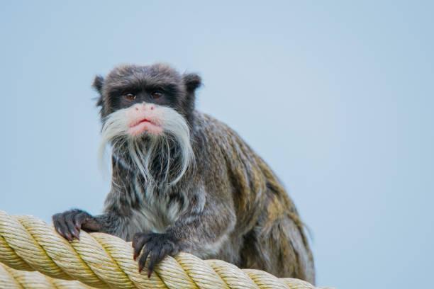 皇狨猴 - 猴子 個照片及圖片檔