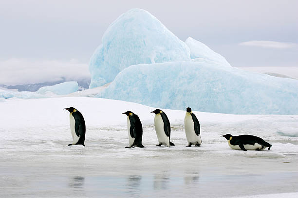 Emperors On Ice 5 Emperor penguins traveling on frozen ocean with blue iceberg in the background. Antarctica. emperor penguin stock pictures, royalty-free photos & images