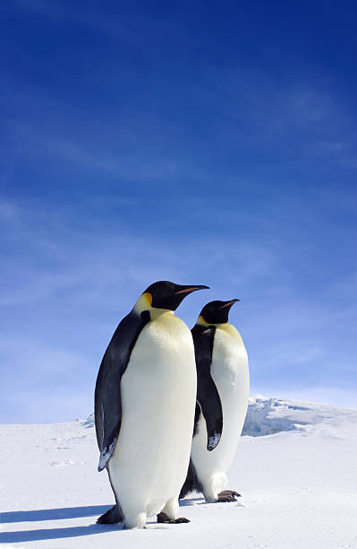 Emperors Tow Emperor Penguins standing side by side in Antarctica emperor penguin stock pictures, royalty-free photos & images