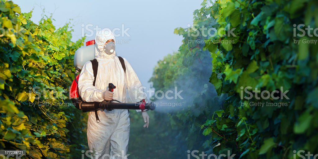 A employee spraying grapes for the winery stock photo